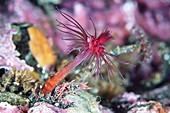 Aplanulata hydrozoan polyp
