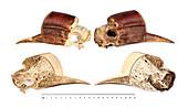 Helmeted hornbill skull, source of hornbill ivory