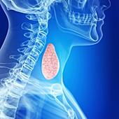 Illustration of a healthy thyroid gland