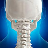 Illustration of the atlas bone