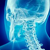 Illustration of the cervical neck