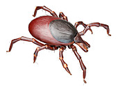 Illustration of a tick