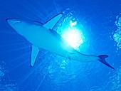 Illustration of a marko shark
