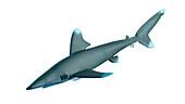 Illustration of a whitetip shark