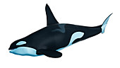 Illustration of an orca