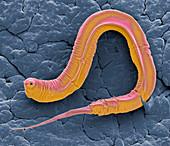 C elegans, SEM