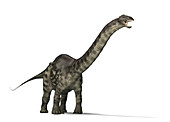Brontosaurus, illustration
