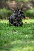 Active Scottish Terrier