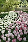 Frühlingsgarten mit weißen und pinken Tulpen