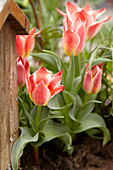 Zweifarbige Tulpe