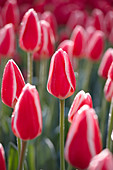 Tulipa 'Candy Apple Delight'