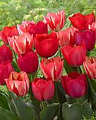 Tulipa 'Spryng Mix'