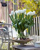 Tulipa 'Snowboard'