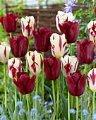 Tulipa 'Grand Perfection', 'Merida'