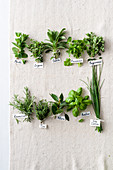 Bunches of fresh herbs with name tags