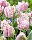 Tulipa 'Air'