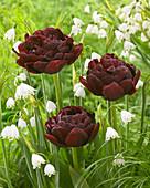 Tulipa Nachtwacht, Leucojum aestivum