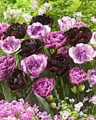 Gefüllte Tulpen im Beet