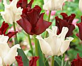 Tulipa 'White Liberstar', 'Red Crown'
