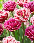 Tulipa 'Brest', 'Mascotte'