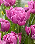 Tulipa 'Double Price'