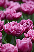 Tulipa 'Double Flag'