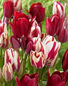 Tulipa 'Flaming Club', 'Fiery Club'