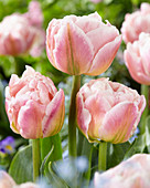 Tuliep 'Double Apricot'
