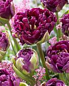Tulipa 'Double Purple'