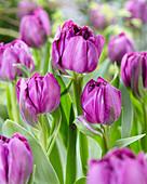 Tulipa 'Angel Falls'