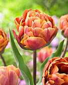 Tulipa 'Brazil'
