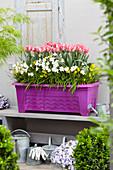 Balkonkasten mit Tulpen, Milchstern und Narzissen