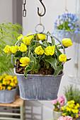 Tulipa 'Calimero'
