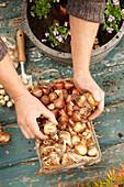 Tulpenzwiebeln und Narzissenzwiebeln zum einpflanzen