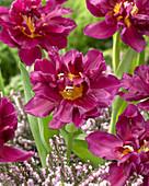 Tulipa 'Showcase'