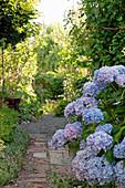 Blaue Hortensie am Gartenweg