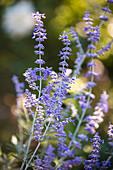 Blüten von Perovskia