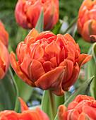 Tulipa 'Hermitage Double'
