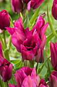Tulipa 'Night Club'