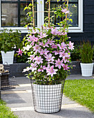 Clematis 'Sally'