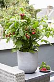 Rubus idaeus 'Little Red Princess'