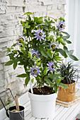 Passiflora caerulea 'Duuk'