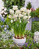 Narcissus 'Abba' steht mit Topf im Beet