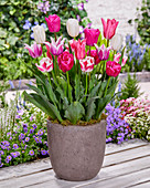 Tulipa 'Happy Mix'