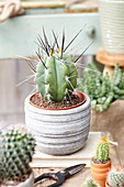 Stetsonia Kaktus