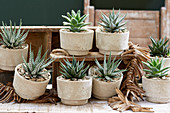 Topf Arrangement mit Aloe, Haworthia und Agave 'Shaka Zulu'