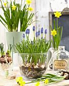 Muscari, Narcissus 'Tete a Tete'