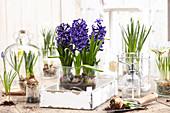 Hyacinthus 'King Kodro'