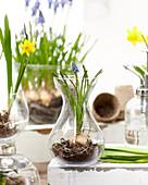 Muscari und Narcissus in Gläsern
