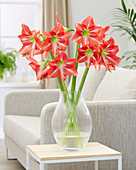 Hippeastrum 'Striped Beauty'